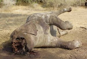 Dead elephant with tusks removed, Lower Zambezi National Park Zambia, 2011. Photograph by Scotch Macaskill.